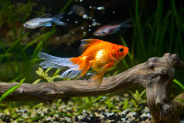 описание золотых рыбок
