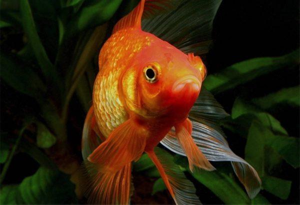 Обычная золотая рыбка