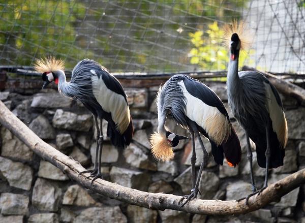 Западный венценосный журавль в Большом Московском зоопарке