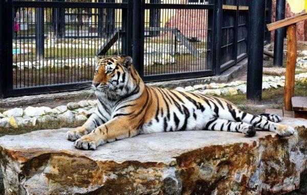 Амурский тигр- гордость Воронежского зоопарка
