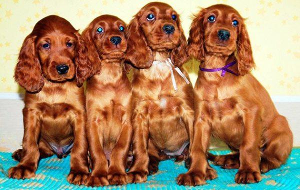 Итак: родословная - это лишь гарантия чистокровности вашей собаки и ничего более
