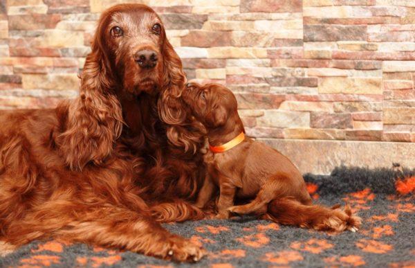 Сука и щенки ирландского сеттера