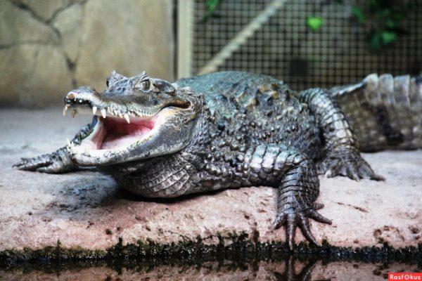 Так же зоопарке «Большереченский»есть террариум с нильским крокодилом