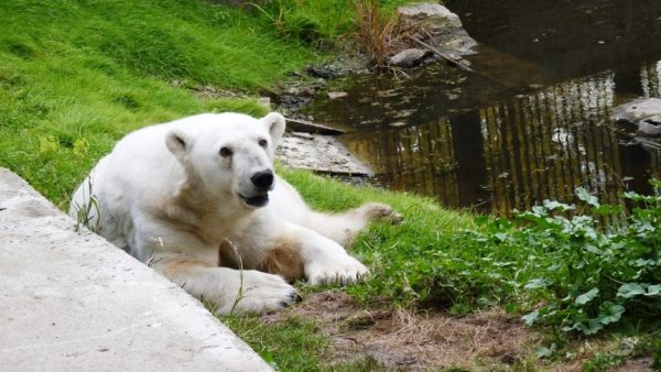 Белый медведь в зоопарке Омска